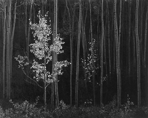 Ansel Adams, Aspens, Northern New Mexico